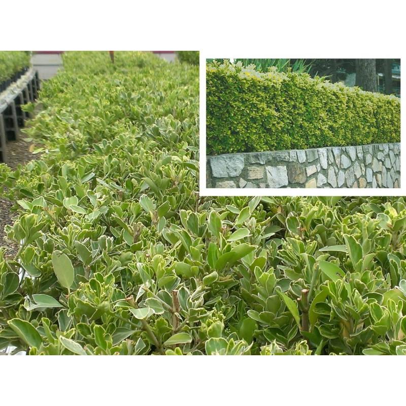 Evónimo BLANCO para setos. Evónimo del Japón, Evónimus (Euonymus japonicus)