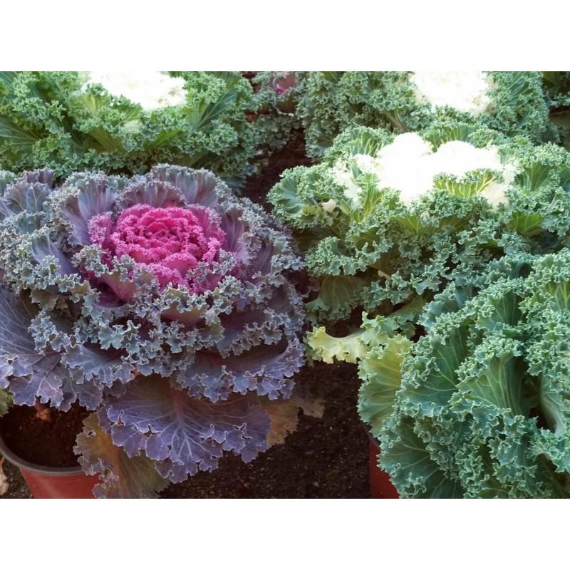 COL DE JARDÍN - Col ornamental (Brassica oleracea) maceta de 14 cm de Ø