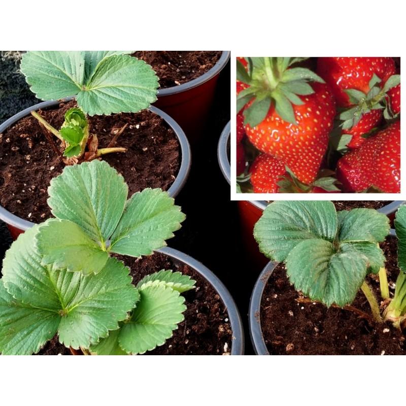 Comprar plantas de fresas - Planta de fresa en maceta