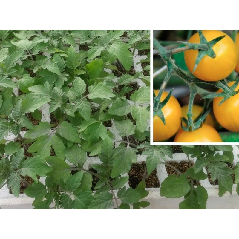 Tomates cherry en maceta trendy cmo cultivar tomates - Tomates cherry en maceta ...
