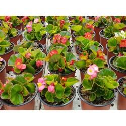 GERANIO (Pelargonium x hortorum)