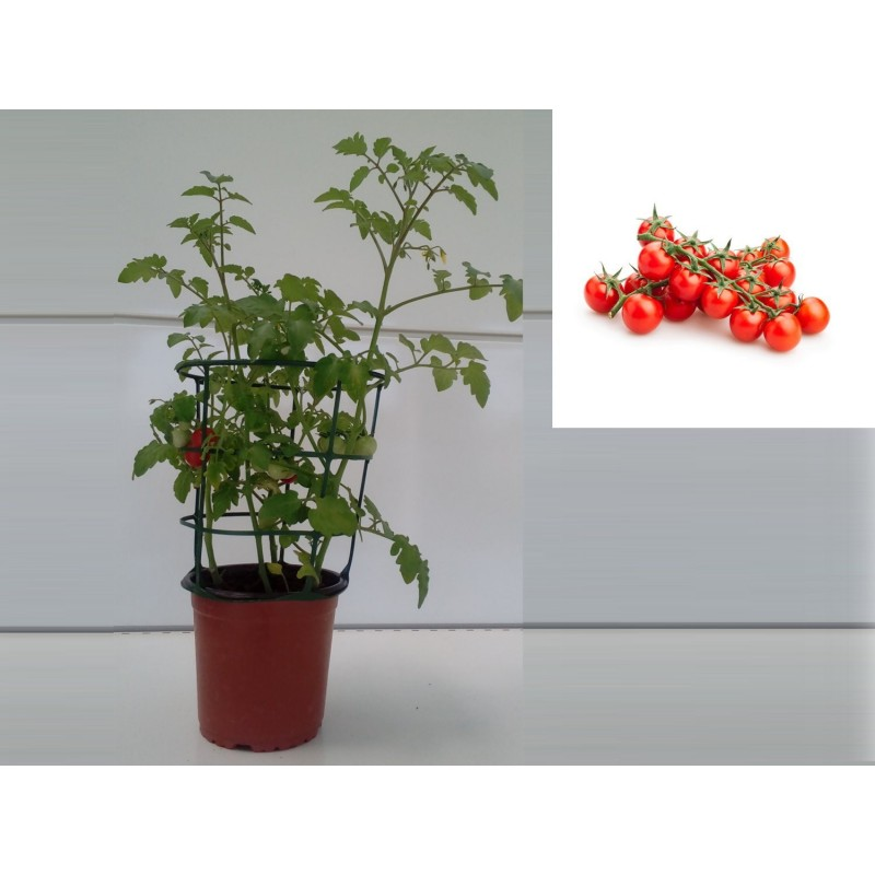 Plantas de tomate cherry en maceta tomate cherry maceta - Tomates cherry en maceta ...