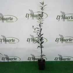 OLIVO ARBEQUINA C8