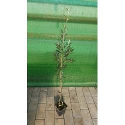 FRANTOIO OLIVE TREE C8