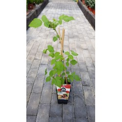 POTTED BLACKBERRY