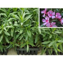 ADELFA (Nerium Oleander)...