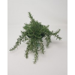 CREEP ROSEMARY 1L BRM