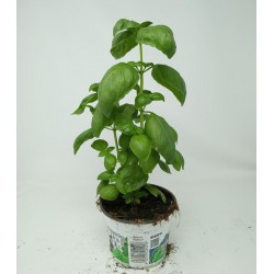 BROAD-LEAF BASIL M13 SF