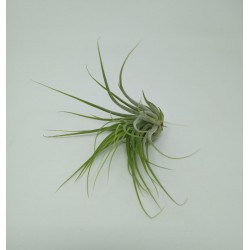 TILLANDSIA MIX 30 PLANTAS