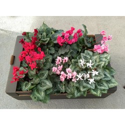 CYCLAMEN MINI VARIADO -...