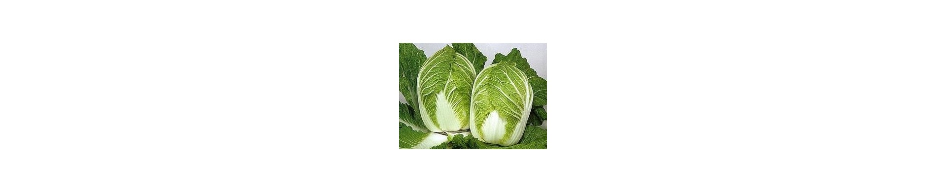 Plant cabbage - Buy cabbage plants