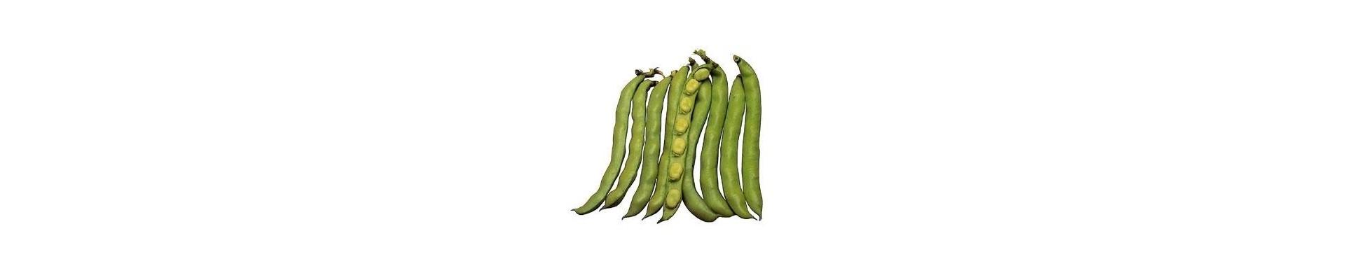 Plantar habas - Comprar plantas de habas