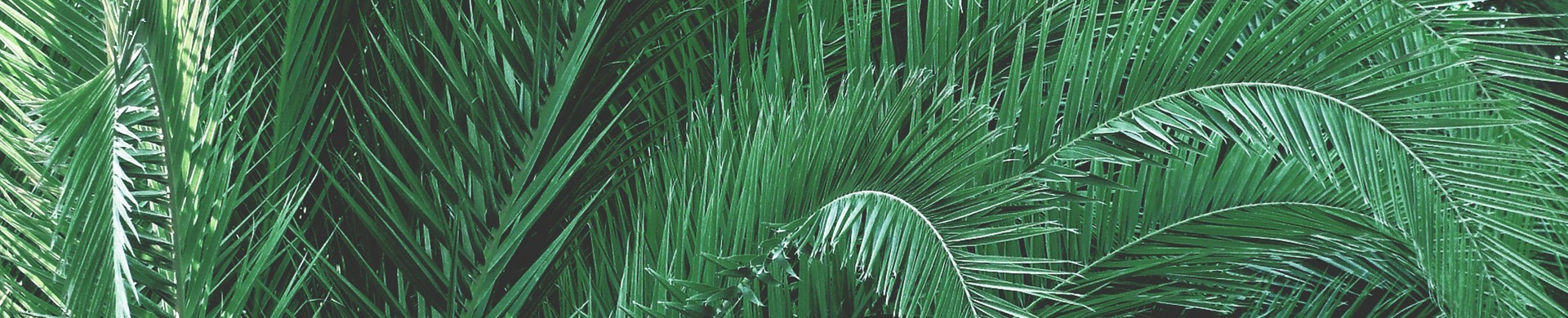 Comprar Palmeras - Venta de palmeras online - Palmeras planta