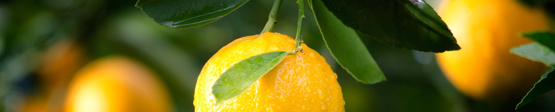 Buy orange and lemon trees - Sale of orange and lemon trees