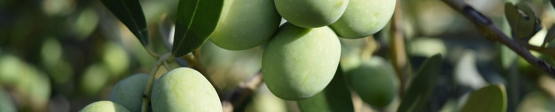 Olive Seedlings - Buy Cheap Olives