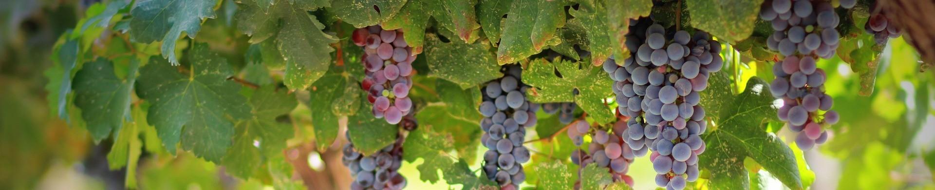 Parras de uva de mesa - Comprar plantas de uva