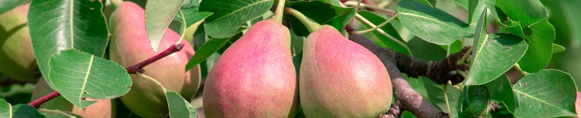 Plantar perales - Comprar perales