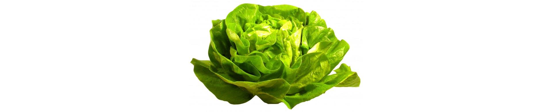 Plant lettuce - Complicate lettuce plants