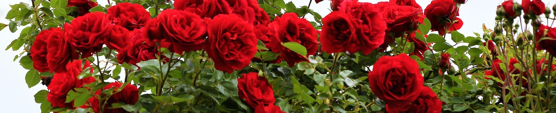 Buy Rose Bushes - Sale Rose Plants
