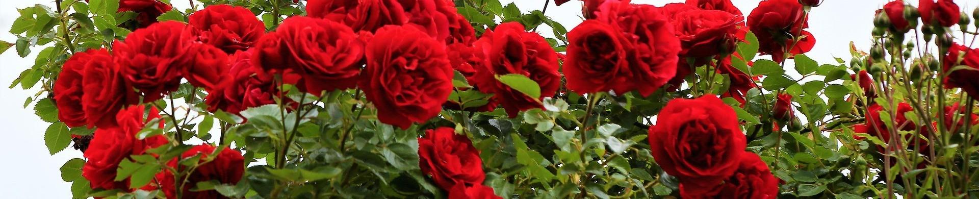 Comprar Rosales - Venta rosales plantas