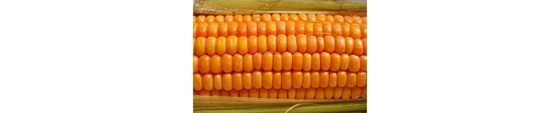 Plantar maiz - Comprar plantas de maiz